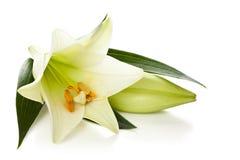 bakgrund blommar glansig white för lilja två Royaltyfria Foton