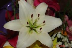 bakgrund blommar glansig white för lilja två Arkivbild