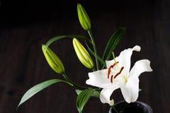 bakgrund blommar glansig white för lilja två Fotografering för Bildbyråer