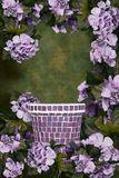 bakgrund blommar grön vanlig hortensiapurple Arkivfoton