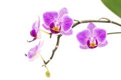 bakgrund blommar orchidwhite Arkivfoton