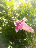 1 bakgrund blommar pink Arkivfoton