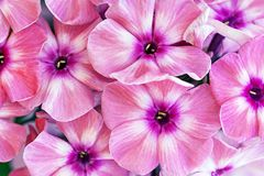 1 bakgrund blommar pink Royaltyfri Bild