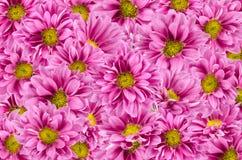 1 bakgrund blommar pink Royaltyfri Foto