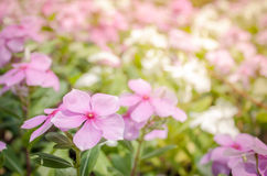 bakgrund blommar pink Arkivfoton
