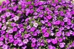 1 bakgrund blommar pink Arkivbilder