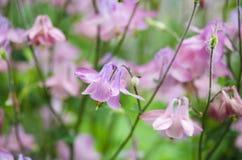 bakgrund blommar pink Royaltyfria Foton