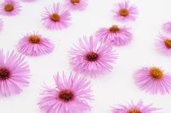 bakgrund blommar rosa white Royaltyfri Foto