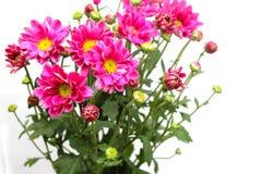 bakgrund blommar rosa white Royaltyfri Fotografi