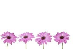 bakgrund blommar rosa white Arkivbild