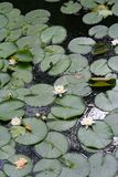 bakgrund blommar vatten Royaltyfria Bilder