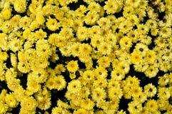 bakgrund blommar yellow Royaltyfri Fotografi