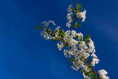 bakgrund blomstrar filialCherrywhite arkivbild