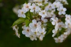bakgrund blomstrar filialCherrywhite royaltyfria foton