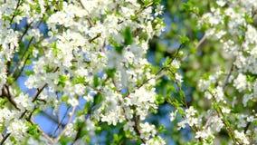 bakgrund blomstrar filialCherrywhite lager videofilmer