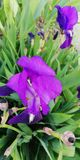 Bakgrund Bo mirakel Utsökt irisblomma på bakgrunden av gröna sidor och gräs arkivfoton