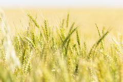 Bakgrund för abstrakt begrepp för vetefält Royaltyfri Fotografi