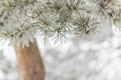 bakgrund för abstrakt begrepp för Sörja-träd filialvinter utomhus Royaltyfria Foton