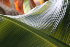 Bakgrund för bananbladabstrakt begrepp Arkivfoton