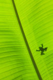 Bakgrund för bananbladgräsplan Royaltyfri Bild