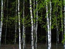 Bakgrund för björkträd Arkivbilder