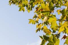 bakgrund för blå himmel för agains för höstsidor Royaltyfri Bild