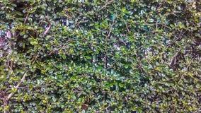 Bakgrund för bladväggtextur Royaltyfri Fotografi