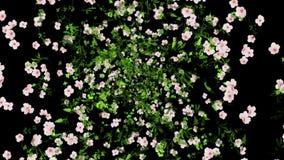 Bakgrund för blommaexplosionanimering Inklusive alfabetisk kanal
