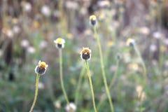 Bakgrund för blommagrässuddighet Arkivfoton