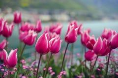 Bakgrund för blommatulpantappning Härlig sikt av rosa tulpan Royaltyfri Foto