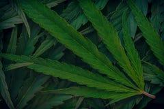 Bakgrund för closeup för cannabismarijuanablad royaltyfri fotografi