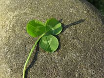 Bakgrund för dag för St Patrick ` s med växt av släktet Trifolium eller treklövern på en flodsten Arkivfoton