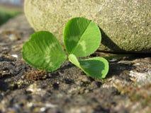 Bakgrund för dag för St Patrick ` s med växt av släktet Trifolium eller treklövern vid en flodsten Royaltyfria Foton