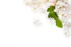 Bakgrund för den vita blomman av jasminnaturblommor fördelade på whit Fotografering för Bildbyråer