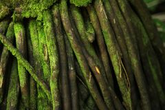 Bakgrund för Digitalt fotografi av det mossiga trädet för den Hawaii makroen rotar strukturen arkivfoton