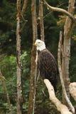 Bakgrund för Digitalt fotografi av skalliga Eagle Profile arkivfoto