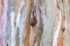 Bakgrund för eukalyptusskälltextur Arkivbild