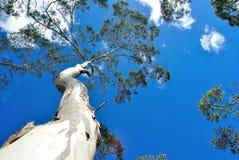 Bakgrund för eukalyptusträd Arkivfoton
