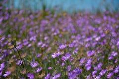 Bakgrund för fält för Ð-¡ ornflowers Royaltyfri Bild