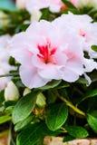 Bakgrund för ferie för för rosa färger för Closeup och vita blommor Royaltyfri Bild