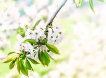 Bakgrund för filial för blomningkörsbärträd på den soliga dagen Fjädra blom- bakgrund med litet vita blommor och kopia-utrymme Royaltyfria Foton