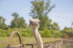 Bakgrund för flightless fågel för struts kraftlös royaltyfri foto
