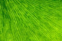 Bakgrund för GinkgoBiloba Leaf Arkivbild