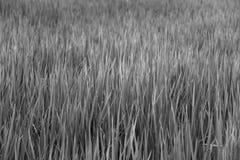 Bakgrund för gräsfält på svartvit färg arkivfoton