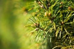 Bakgrund för gräsplan för granträd Royaltyfria Bilder