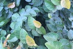 Bakgrund för gräsplan för fikuspumilanatur Pumila eller krypa för fikus Arkivbilder