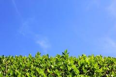 Bakgrund för grön häck och för blå himmel Arkivfoto