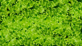 Bakgrund för grönsaker för grön sallad äta som är sunt Fotografering för Bildbyråer