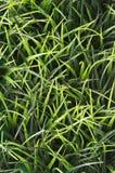 Bakgrund för grönt gräs med inget royaltyfri foto