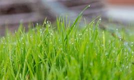 Bakgrund för grönt gräs med vattendroppar arkivbilder